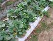 truskawki-np-08