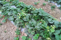 truskawki-np-11