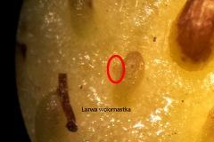 larwa-wciornastka-2
