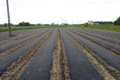 truskawki-na-zagonach-5