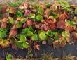 truskawki-pod-wloknina-1