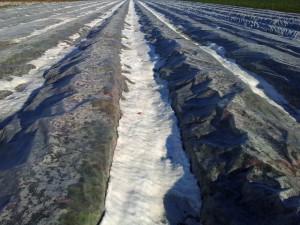 truskawki okryte na zimę